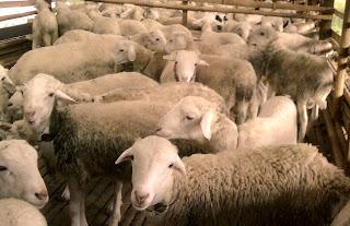 cara dan rumus menduga bobot badan ternak tanpa timbangan terlengkap