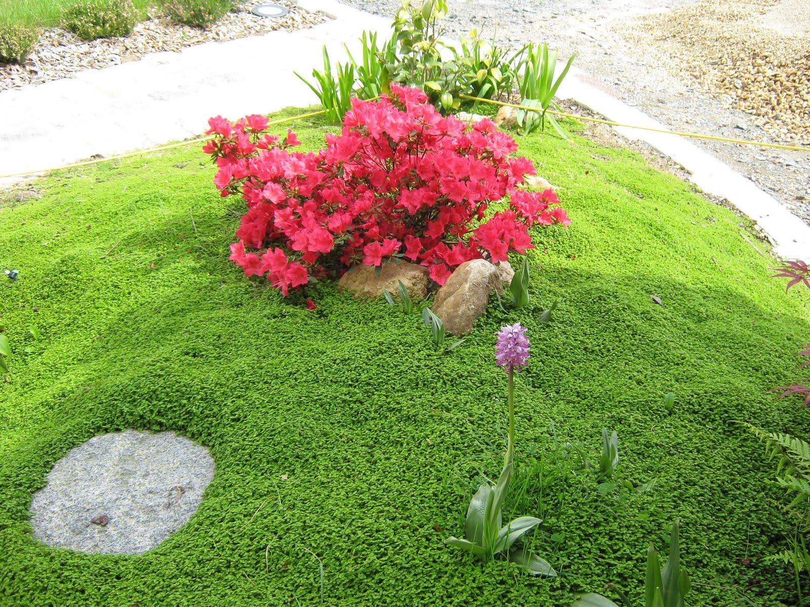 niwaki horizon du japon helxine soleirolia soleirolii. Black Bedroom Furniture Sets. Home Design Ideas