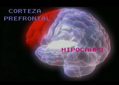 [corteza+frontalhipocampo.jpg]