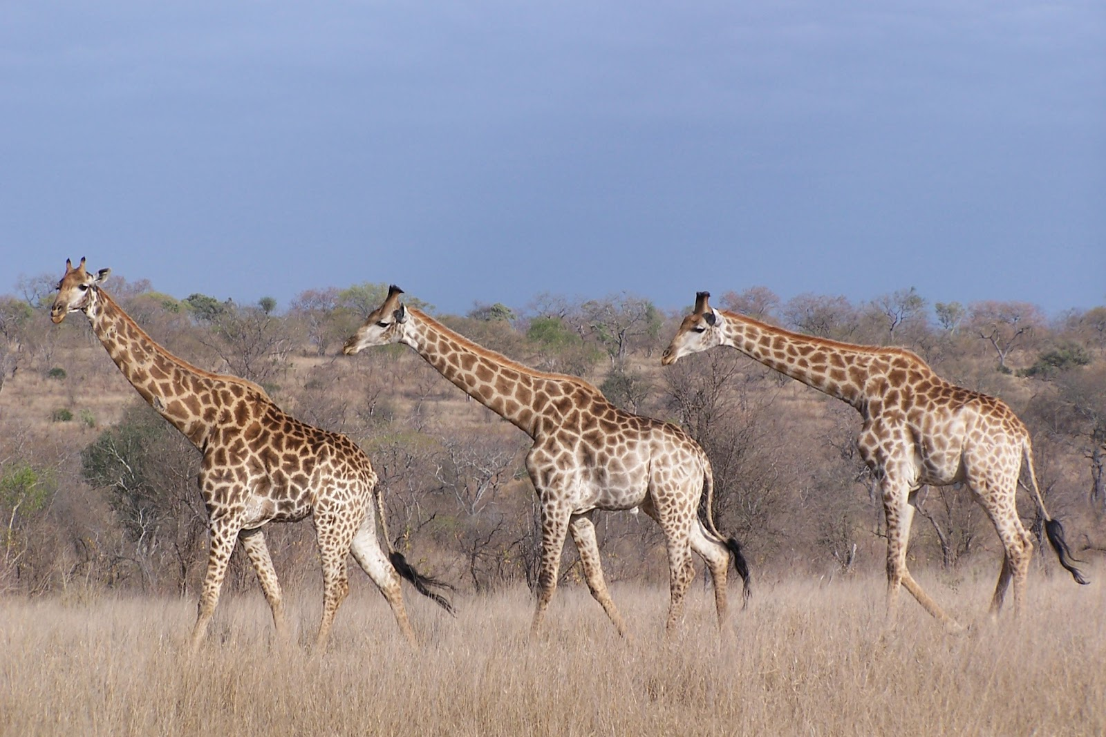 The Game Lodge Index Fun Facts About Giraffes