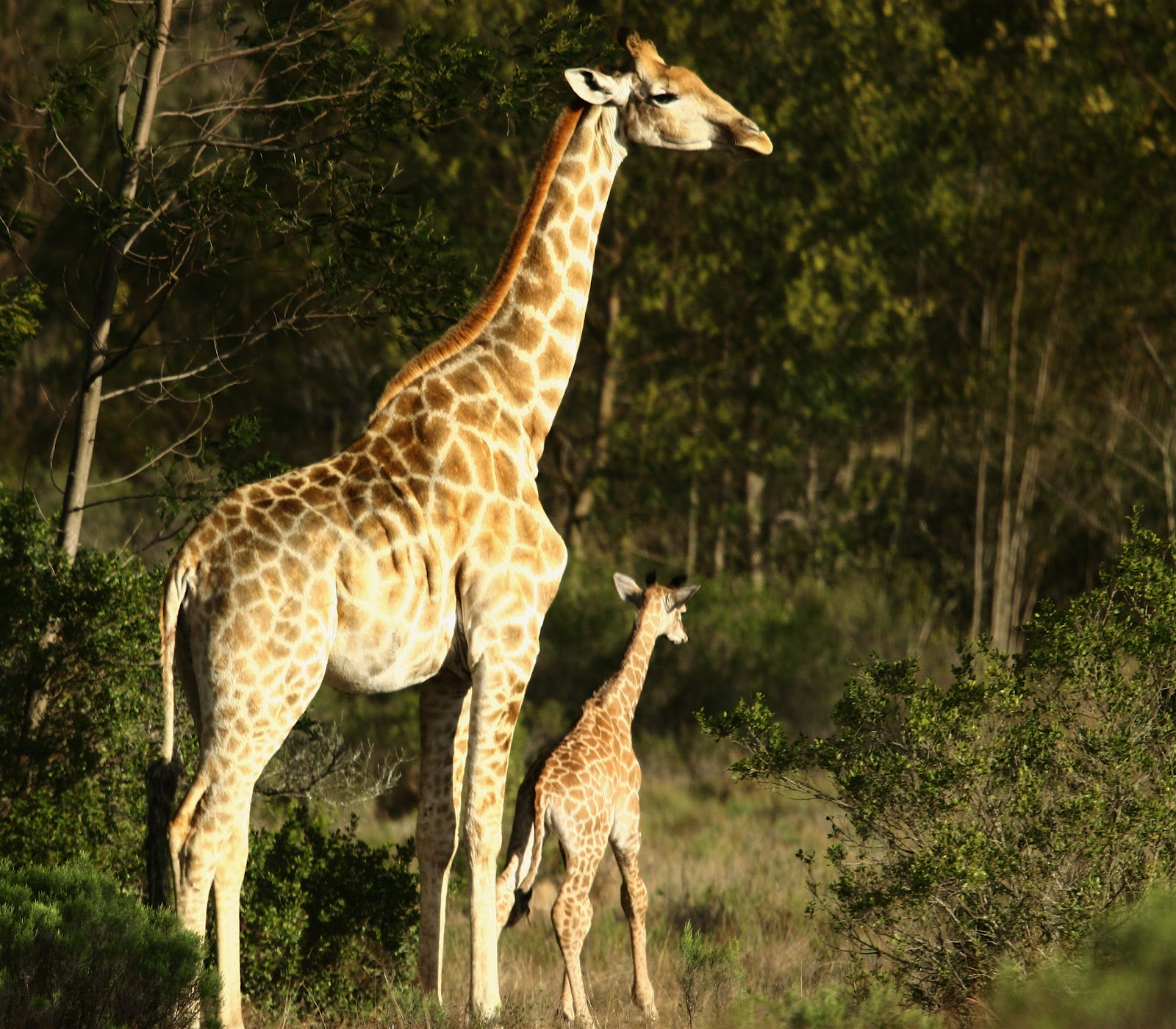 Images About Giraffes