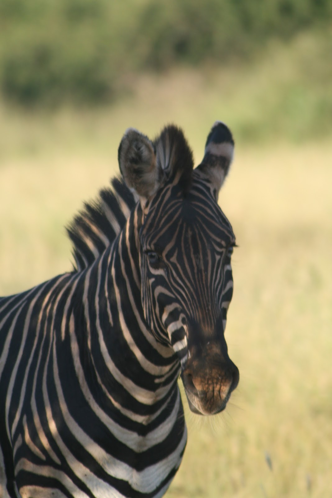 The Game Lodge Index Fun Facts About Zebras