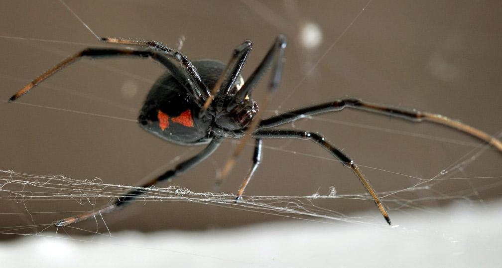 Black Widow Spider Web - Bing images
