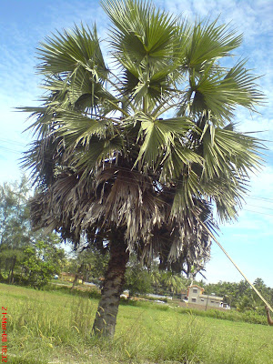 Asian Palmyra Palm (Toddy Palm) Tree