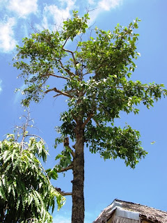 Our Philippine Trees Typhoon Proofing The Bangkal Trees