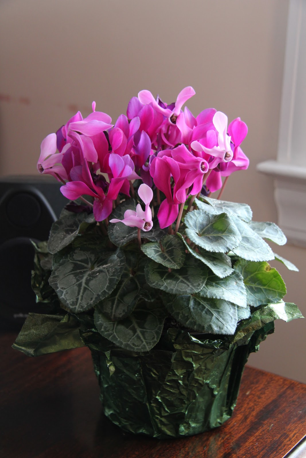 Cyclamen Plant Care Growing Tips Cutting Planting: Gardening And Gardens: The Real Houseplants Of New York