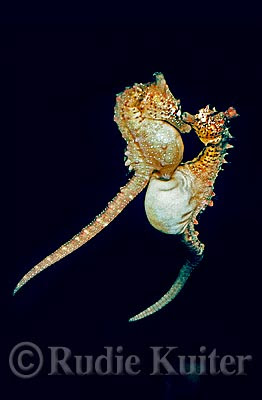 Caballitos de mar reproduccion asexual