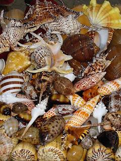 Philippine Shells  Proudly Philippine Made