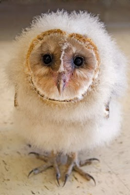 Kitty Stampede: Baby Barn Owls