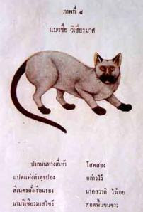 early Siamese cat
