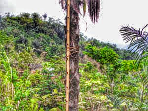 making palm sugar is labor-intensive work
